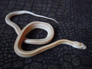 repstylin_captive_bred_designer_morph_pet_snakes_for_sale_online003001.jpg