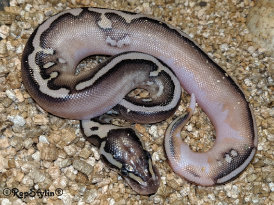 repstylin_captive_bred_designer_morph_pet_snakes_for_sale_online008005.jpg