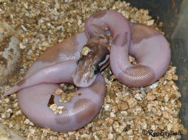 repstylin_captive_bred_designer_morph_pet_snakes_for_sale_online008007.jpg