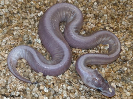 repstylin_captive_bred_designer_morph_pet_snakes_for_sale_online008010.jpg