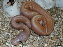 repstylin_captive_bred_designer_morph_pet_snakes_for_sale_online008012.jpg