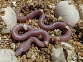 repstylin_captive_bred_designer_morph_pet_snakes_for_sale_online008013.jpg
