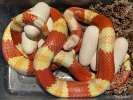 repstylin_captive_bred_designer_morph_pet_snakes_for_sale_online008014.jpg