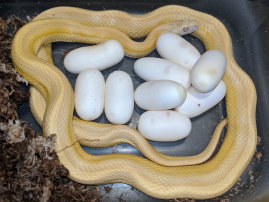 repstylin_captive_bred_designer_morph_pet_snakes_for_sale_online008018.jpg
