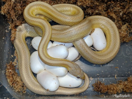 repstylin_captive_bred_designer_morph_pet_snakes_for_sale_online008020.jpg