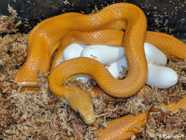 repstylin_captive_bred_designer_morph_pet_snakes_for_sale_online008022.jpg