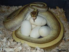 repstylin_captive_bred_designer_morph_pet_snakes_for_sale_online008025.jpg