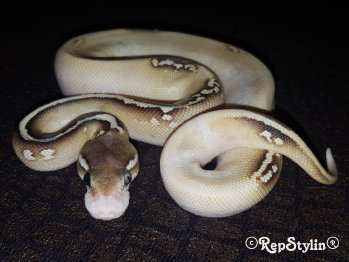 repstylin_captive_bred_designer_morph_pet_snakes_for_sale_online008028.jpg
