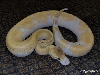 repstylin_captive_bred_designer_morph_pet_snakes_for_sale_online008029.jpg